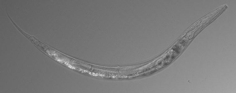 Ученые нашли трехполую, устойчивую к мышьяку нематоду