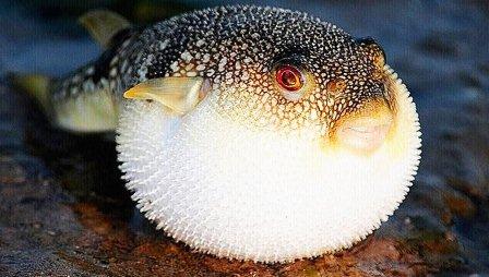 фугу рыба
