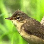 Изменение климата стало причиной сокращения размеров и массы птиц