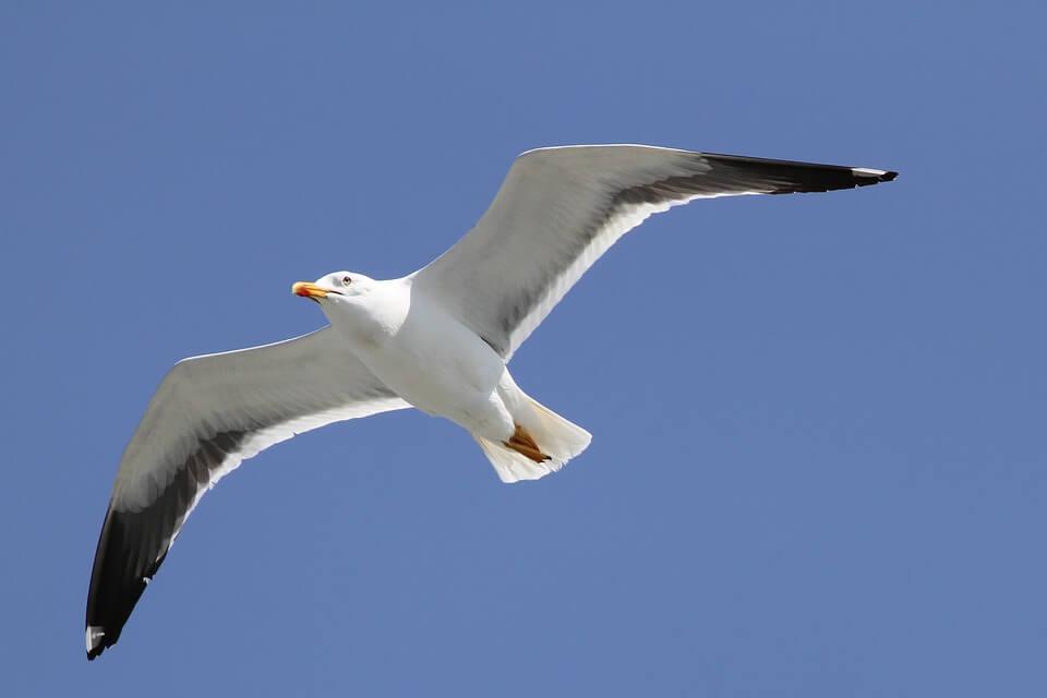 чайка крыло