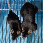 Генная терапия поможет нарастить мышцы страдающим остеоартритом