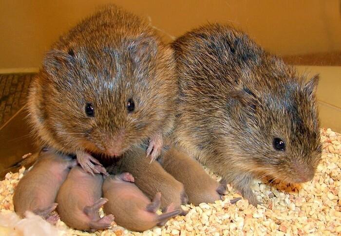 мыши полевки