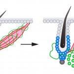 Связь эффекта гусиной кожи и ростом волос раскрыта учеными из Гарварда