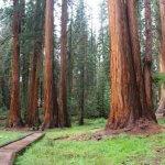 Почему секвойя растет только в Калифорнии