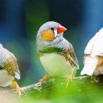 Зебровые диамантники узнали по голосу более 40 птиц