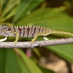 Виды хамелеонов, потерянные за столетие, вновь открыты на Мадагаскаре