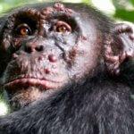 Проказу впервые обнаружили у диких шимпанзе