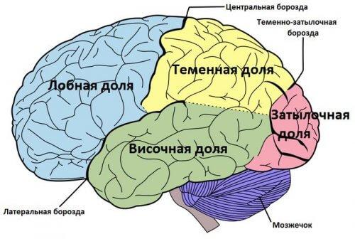 мозг отделы