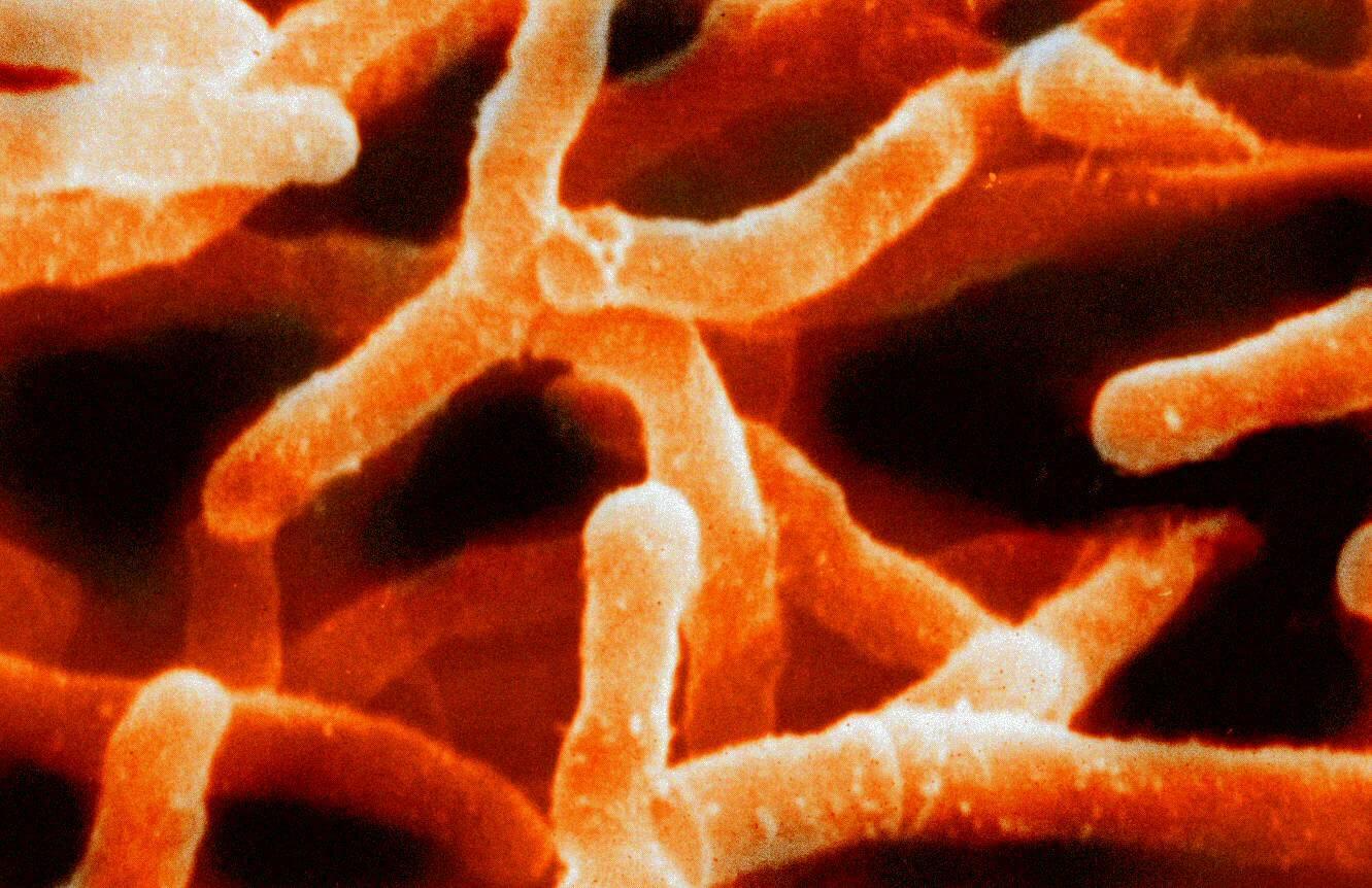 актинобактерии