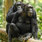 Про верность шимпанзе и человеческие качества