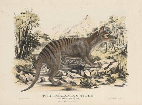 тасманский тигр рисунок