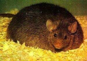 мышь жирная