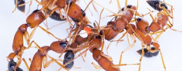муравей- индия - 2