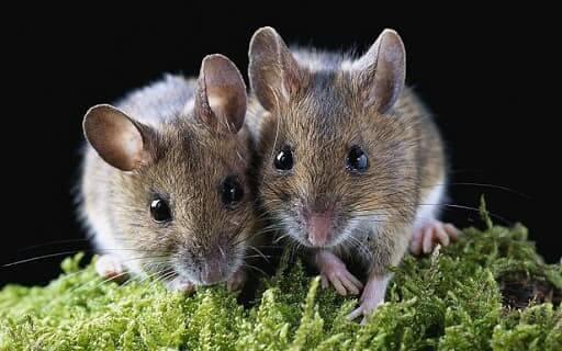 мыши - самка и самец