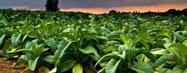 табак-растение